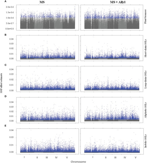 Manhattan plots of GWAS results. Genome wide distribution of the absolute value of the heteroscedastic SNP effects. Shades of gray represent nonsignificant SNP effects. Blue points represent significant SNP effects under control (MS) and allyl treatment (MS + Allyl). (A) Plant Biomass, (B) Short-Chain GSLs, (C) Long-Chain GSLs, (D) Aliphatic GSLs, (E) Indolic GSLs.