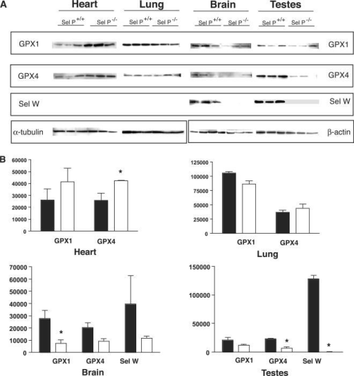 Comparison of GPX1, GPX4, and Sel W levels in Sel P knockout versus wild-type mice. (A) Protein was extracted from heart, lung, brain and testes, which were then used for western blot analysis. Rabbit polyclonal antibodies were used to detect GPX1, GPX4 and Sel W for three Sel P knockout mice and three wild-type mice for each tissue. Equivalent protein loading was determined using α-tubulin for heart and lung and β-actin for brain and testes. (B) Densitometry was used to quantify western blot data as described in the Methods section. Results represent mean ±SE. Statistical significance was determined by student's t-test (*P < 0.05) Black and white bars represent wildtype (N=3) and knockout (N=3) mice, respectively.