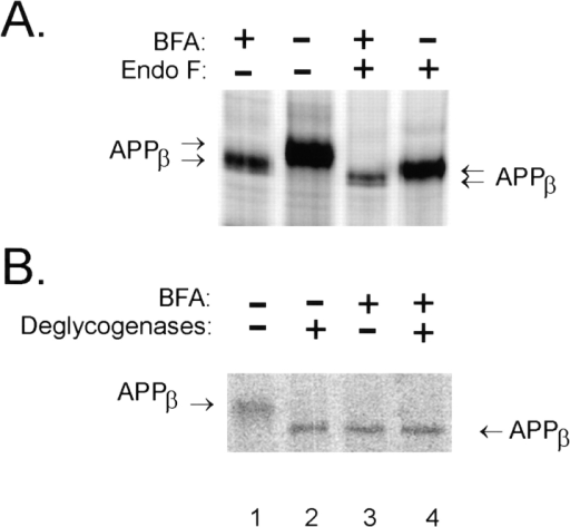 APPβ generated in the presence of BFA is partially  glycosylated. Cultures of NT2N neurons were metabolically labeled as in Fig. 7 in the presence or absence of 20 μg/ml BFA.  The cell lysates were then immunoprecipitated with the antibody  53. (A) Samples in lanes 3 and 4 were treated with Nglyc F for 16 h  to remove N-linked sugars, whereas immunoprecipitates in lanes  1 and 2 were treated with the vehicle. (B) Samples in lanes 2 and  4 were deglycosylated with a combination of Nglyc F, neuraminidase, and O-glycosidase for 16 h to remove both N- and O-linked  chains (lanes 2 and 4); lanes 1 and 3 represent samples that were  mock digested.