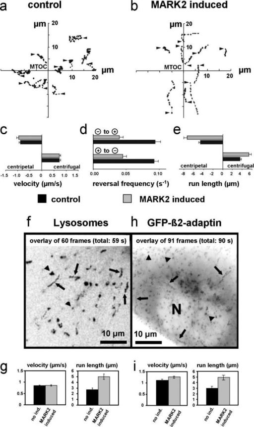 Influence of MARK2 on the transport of vesicles and organelles. (a) Tracking pattern of GFP-VSVG–tagged vesicles in noninduced CHO cells (controls) and (b) in MARK2-induced CHO cells. Dots connected by a line identify consecutive positions of a vesicle (1-s time intervals, arrowheads indicate starting points). The coordinates are centered on the TGN (labeled strongly with GFP-VSVG) near the microtubule organizing center. Upon MARK induction the tracks become longer and straighter, indicating that fewer directional changes occur. (c–e) Quantification of GFP-VSVG–tagged vesicle movement in noninduced CHO cells (black bars) and MARK2-induced cells (gray bars). The data are based on the vesicle motion recorded from 30 cells, 150 vesicles were analyzed, error bars = SEM. (c) Velocities remain unchanged after the induction of MARK2 in either direction (inbound v∼0.9μm/s, outbound ∼0.7 μm/s; n > 500). (d) Reversal frequencies decrease strongly after MARK2 induction (∼0.04 s−1 with MARK2, ∼0.09 s−1 without MARK2, both for inbound/outbound and outbound/inbound reversals; n > 100). (e) Run lengths increase strongly (∼50%) upon MARK2 induction in both directions (n > 100). Note that both with and without MARK2 the inbound run lengths are ∼30% longer than outbound (4.6 μm inbound, 3.6 μm outbound without MARK2). (f and g) Motion of lysosomes. (f) This panel shows an overlay of 60 images separated by 1 s. Lysosomes move on linear tracks >1 μm (arrows). Particles that are immobile or show only short Brownian movements (≤0.3 μm and random direction) can also be observed (spots marked by arrowheads). (g) Velocities remain unchanged upon MARK2 induction (∼0.8 μm/s), but run lengths increase (from 3 to 5 μm). Reversal frequencies and directionalities cannot be determined because in CHO cells labeled with LysoTracker there is no internal reference indicating the cell's interior. (h) Endocytotic vesicles: CHO cells were transiently transfected with EGFP-labeled β2-adaptin, a marker of the AP-2 complex of endocytotic clathrin-coated vesicles. During the time of observation shown here (90 s) fluorescent paths are clearly visible. Linear or curved tracks longer than 1 μm represent actively transported vesicles (arrows), broader black or gray spots represent immobile particles and/or vesicles showing Brownian motion (arrowheads). The overexpression of GFP/β2-adaptin causes a strong background noise in the cytoplasm and the nucleus (N) becomes visible. The rather immobile fluorescent patches in the more peripheral regions of the cell are clathrin-coated vesicles or their precursors (arrowheads; Laporte et al., 1999). In the interior of the cell near the nucleus (N) an accumulation of the fluorescent signal can be observed suggesting that EGFP/β2-adaptin also colocalizes with the exocytotic and/or endosomal compartment. This is supported by the occurrence of fast moving vesicles entering or leaving this area. In contrast to the post-Golgi vesicles labeled by transient transfection of GFP-VSVG, the system here cannot provide reversal frequencies because of the strong background that shortens the time in which the particles are clearly seen in focus. (i) Velocities remain unchanged by MARK2 (∼1 μm/s), but run lengths increase almost twofold. The tracks illustrate three scenarios: the period of motion observed within the plane of focus is flanked by (1) periods of active transport out of focus, (2) resting states in focus and active transport out of focus, and (3) periods of pauses in focus. We only analyzed events of movement which were clearly in focus and which show at least two stop events in order to determine the run length. As in the case of lysosomes (g), the velocity of vesicles (i) remains roughly the same after MARK2 induction, but there is a notable increase in the run length. Error bars indicate SEM.