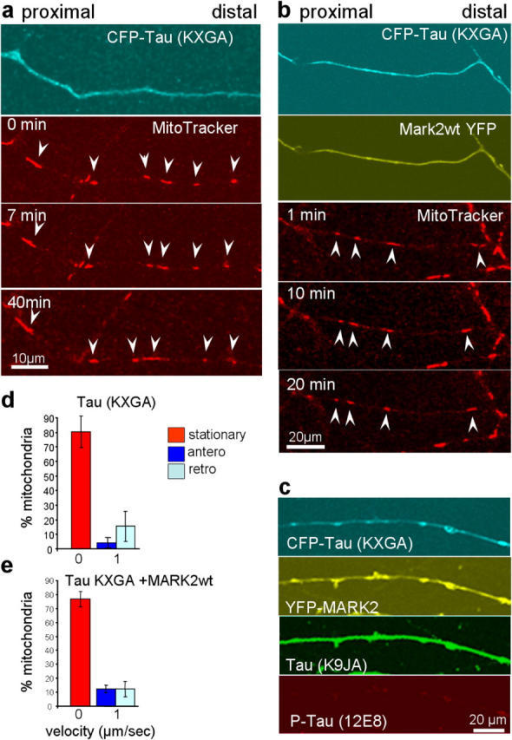 Non-phosphorylatable tau blocks traffic and cannot be relieved by MARK2. (a) RGC axon transfected with CFP-tau/KXGA lacking phosphorylation sites by MARK (top, blue). Most mitochondria are immobile (compare arrowheads in middle and bottom panels). (b) Axons transfected with CFP-tau/KXGA and YFP-MARK2 (first and second panel). Mitochondria are still immobile, despite the presence of MARK2 (panels 3 and 4). (c) Axon transfected with CFP-tau/KXGA (top, blue) and YFP-MARK2 (middle, yellow), stained with antibody 12E8 (bottom, red). Note that 12E8 reaction has disappeared because the KXGS motifs are absent. (d) Histogram of mitochondria mobility in tau/KXGA transfected cells (see panel a, showing that ∼80% are immobile, only a minority moves antero- or retrogradely. (e) Histogram of mitochondria mobility in tau/KXGA and MARK2 transfected cells, showing that MARK2 does not rescue mobility when tau cannot be phosphorylated. Error bars indicate SEM.