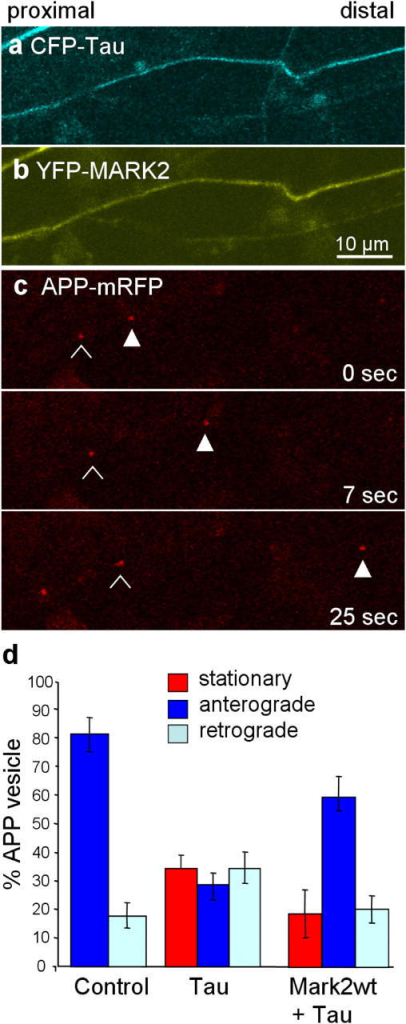 Recovery of anterograde transport of APP vesicles after coexpression of tau and MARK2. (a–c) RGC axon transfected with CFP-tau (a), YFP-MARK2 (b), and APP-mRFP (c). The time series in panel c shows recovery of anterograde movements. Open and closed arrowheads show two vesicles moving to the right at different speeds. (d) Histogram showing APP vesicle movements in control (left), after tau transfection (middle), after cotransfection of tau and MARK2 (right). In control cells almost all vesicles are mobile, and anterograde movements dominate. After tau transfection ∼40% of vesicles become immobile, and the net flow becomes retrograde. MARK2 partially relieves the inhibition by tau, the net flow becomes anterograde again.