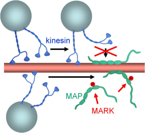Model of MAPs and MARK regulating the movement of motors along microtubules. (Top) Unphosphorylated MAPs are attached to microtubules and present obstacles to motors such as kinesin (short run length, inhibition of attachment of motors). (Bottom) MAPs phosphorylated by MARK detach from microtubules and thus clear the path for motors.