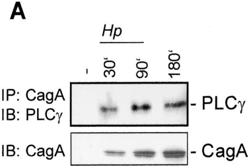 H. pylori–activated PLCγ interacts with CagA and is required for the motogenic response of AGS cells. (A) PLCγ interacts with CagA. CagA was immunoprecipitated (IP) from AGS cell lysates prepared at the indicated time points after infection. Immunoblot (IB) analysis of immunoprecipitates was performed using anti-PLCγ antibody. (B) H. pylori induces PLCγ phosphorylation. AGS cells were infected with H. pylori wild type or cagA and virB11 strains, and PLCγ immunoprecipitates were tested by Western blot analysis using antiphosphotyrosine antibody. (C) PLCγ inhibitor drastically reduces the motogenic response of AGS cells to H. pylori infection. AGS cells were pretreated with the PLCγ inhibitor U73122 and infected with H. pylori. Phase-contrast microscopy was performed at 4 h after infection. (D) CagA fails to interact with large adaptor protein Gab1. AGS cells were transiently transfected with the plasmid-expressed Flag-tagged Gab1 and infected with H. pylori. CagA immunoprecipitates were analyzed by immunoblotting with anti-Flag antibody.