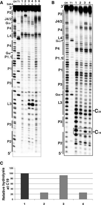 Chemical and enzymatic probing of the bottom of the P2 stem. (A) Autoradiogram of a 10% PAGE gel of in-line probing performed on 5′-end-labelled wild-type and mutated trans-acting ribozymes. Both alkaline and RNase T1 hydrolyses of the wild-type ribozyme were performed in order to determine the location of each position (lanes OH and T1, respectively). In-line probing of the wild-type ribozyme (1, 2), the RzC24U,C25U,G40U,G41U (3, 4) and the RzA78U,A79U (5, 6) mutants are shown. The experiments were performed either in the absence (−) or the presence (+) of the SdA4 analogue. The secondary structure motifs are identified on the left. (B) Autoradiogram of a 10% PAGE gel of RNase V1 probing performed on 5′-end-labelled wild-type and mutated cis-acting ribozymes. Both alkaline and RNase T1 hydrolyses of the wild-type sequence were performed in order to determine the location of each position (lanes OH and T1, respectively). Lanes 1 to 4 correspond to the wild-type sequence (C19G81G80) and the mutants RzC19,G81A,G80A, RzC19,G81AG80 and RzC19G81G80A, respectively. The positions of the C19 and C24 (used to establish the relative level of hydrolysis) are indicated on the right. (C) Histogram of the relative levels of RNase V1 hydrolysis of C19 for each ribozyme.