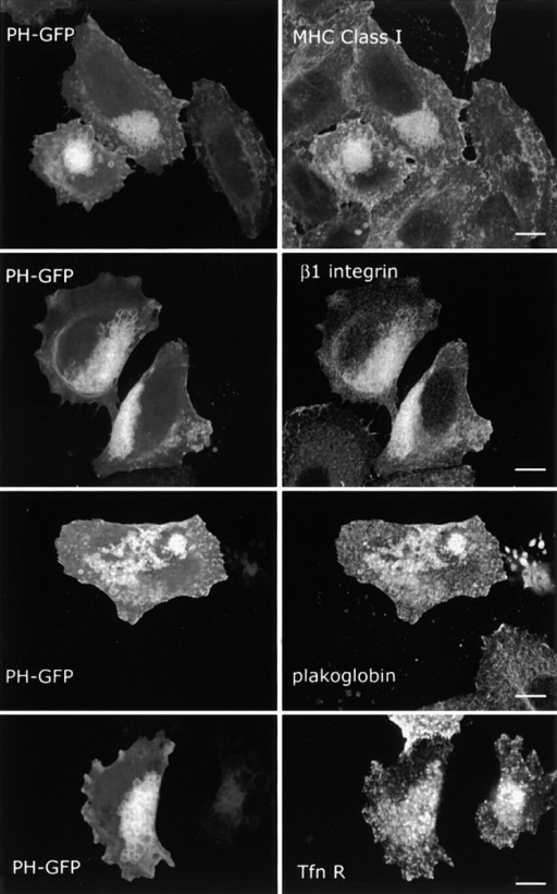 Overexpression of Arf6 Q67L traps proteins that traffic through the Arf6 compartment but not the transferrin receptor into PIP2-positive vacuoles. HeLa cells were transfected with Arf6 Q67L and PH-GFP and probed with antibodies against MHC I, β1-integrin, plakoglobin, and the transferrin receptor as shown. Bars, 10 μm.