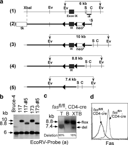 T cell–specific KO of Fas. (a) Targeting scheme. (1) Genomic structure of the fas locus surrounding exon IX. (2) Targeting vector construction. The chromosomal locus after homologous recombination is shown in 3. Cre-mediated deletion produces the fas floxed (4, fasfl) and deleted alleles (5, fasdel). (triangles) loxP sites. Ev, EcoRV; S, SphI; C, ClaI restriction site. (b) Southern blot analysis on DNA from wild-type embryonic stem cells (Bruce-4) and homologous recombinants (clones 117 and 173 and neor deleted clones 117#5 and 173#5). (c) T cell–specific deletion of Fas. T, thymocytes; B, purified splenic B cells (CD19+); XTB, purified nonlymphocyte population. Deletion efficiencies are indicated. (d) FACS® analysis showing loss of Fas expression in thymocytes of fasfl/fl, CD4-cre mice.