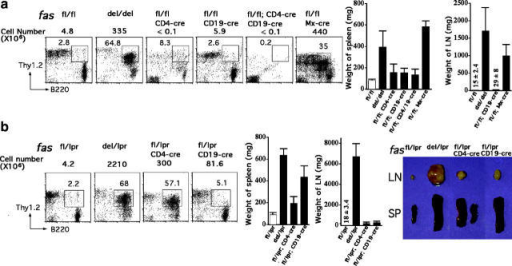 Defective Fas expression in nonlymphoid cells is required for the development of lymphoproliferative disease. FACS® analysis of DN T cells in LNs is shown. (a) 7–9-mo-old C57BL/6 mice with Fas deletion in tissue-specific or inducible manner. Mx–cre-mediated deletion was induced 8 mo before analysis. (b) Mild lymphadenopathy and splenomegaly upon T, B, and T plus B cell–specific Fas inactivation in (C57BL/6×MRL) F1 mice at the age of 5–6 mo. Pictures of spleen and LNs are shown. Weights are shown as means ± SD (n = 2∼6). Cell numbers shown on top of FACS® plots indicate total cellularity from the largest LNs of mice suffering from lymphadenopathy or of inguinal or cervical LNs of mice without apparent lymphadenopathy.