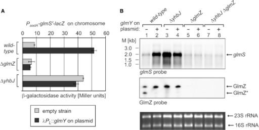 GlmY requires GlmZ for the activation of glmS expression. (A) Overexpression of glmY induces expression of the glmS'-lacZ reporter fusion in the wild-type but not in the ΔglmZ mutant. Strains Z8 (wild-type), Z38 (ΔglmZ) and Z28 (ΔyhbJ) were grown in the absence (grey bars) or presence of the glmY overproducing plasmid pBGG149 (black bars) and the β-galactosidase activities were determined. (B) Northern blot analysis of glmS and GlmZ RNAs in strains overproducing GlmY. Total RNAs were isolated from strains R1279 (wild-type), Z37 (ΔyhbJ), Z45 (ΔglmZ) and Z116 (ΔyhbJ, ΔglmZ), which were either untransformed (lanes 1, 3, 5 and 7) or transformed with plasmid pBGG149 overproducing GlmY (lanes 2, 4, 6 and 8). The RNAs were hybridized with a glmS probe (upper panel) and a GlmZ probe (second panel).