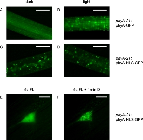 Subcellular localization of a constitutively localized phyA (phyA-NLS-GFP).(A)–(D) 3-day-old dark-grown phyA-211 seedlings complemented with either PPHYA∶PHYA-GFP or PPHYA∶PHYA-NLS-GFP were analyzed by fluorescence microscopy. The seedlings were analyzed directly (dark) or after 10 min irradiation with white light. The scale bars represent 250 µm. (E) and (F). 4-day-old dark-grown phyA-211 seedlings complemented with PPHYA∶PHYA-NLS-GFP were analyzed by fluorescence microscopy. The preparation of the seedlings and the adjustment of the focal plane were done in safe green light. Then the fluorescence light (FL) was switched on for 5 s and a picture was taken (E). After 1 min incubation in the dark another picture was taken (F). The scale bars represent 10 µm.