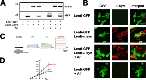Electrophysiological analysis of the cellular effects of hybrid Aβ/α-syn multimers.293T cells were infected with lenti-α-syn and lenti-GFP and treated with Aβ and analyzed by electrophysiology. (A) Immunoblot analysis showing expression levels of α-syn and GFP in treated cultures. (B) Immunocytochemical analysis demonstrating high efficiency of infection and co-localization between α-syn and GFP. (C, D) Representative currents (C) elicited by depolarizing the cells from a holding potential of −50 mV to a series of test potentials ranging from −80 mV to +80 mV, and corresponding current voltage-relationship curves (D), in α-syn-expressing cells treated with vehicle (α-syn, n = 5), vector-transfected cells treated with Aβ (Aβ, n = 5), and α-syn-expressing cells treated with Aβ (α-syn+Aβ, n = 6).