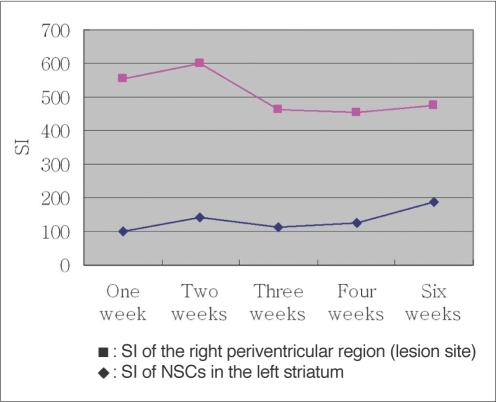 Signal intensity ratio changes in MR images of right periventricular region and of left striatum.Significant decrease of signal intensity ratio between two weeks and three weeks after implantation of neural stem cells is seen in right periventricular region, suggesting massive migration of SPIO-labeled neural stem cells from left striatum into right periventricular region.