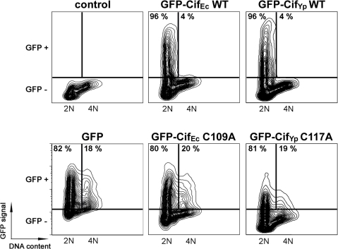 Transfection of CifYp induces cell cycle arrest in HeLa cells.HeLa cells were transfected with plasmid expressing GFP, GFP-CifEc or GFP-CifYp (wild-type (WT) or Cys variants (C/A)) fusion proteins. GFP expression and DNA content were analysed by flow cytometry 48 h post-transfection. Data are represented on two dimensional contour plot graphics with DNA content on the X-axis and GFP signal on the Y-axis. Gates corresponding to the GFP negative and GFP positive populations are indicated. Among the GFP positive populations, percentages of cells with 2N or 4N DNA content are indicated within the corresponding quadrants.