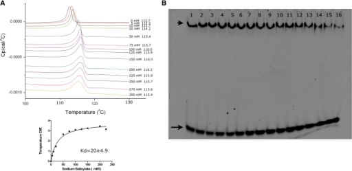 Salicylate binding and inhibition of ST1710–DNA complex assays. (A) DSC analysis of salicylate binding to ST1710. Typical excess heat capacity curves of ST1710 in the absence/presence of sodium salicylate ligand, at a scan rate of 90°C/hr. Salicylate concentration and peak temperature are noted on each curve. The binding constant was calculated using the non-linear regression fit, using the GraphPad Prism software. (B) Gel-mobility shift assay showing ST1710–DNA complex inhibition. All reactions were carried out in binding buffer containing 150 μM of protein and various amounts of sodium salicylate (to a final concentration of 0–250 mM; lanes 1–16 with 0, 1, 5, 10, 20, 30, 40, 50, 60, 70, 80, 90, 100, 150, 200 and 250 mM, respectively) were added and incubated at room temperature for 20 min. To this reaction mixture, 100 nM of 30-mer DNA added, and after for 20 min., the reactions were fractionated by 10% native PAGE and the DNA stained by SYBR Green (EMSA Kit, Invitrogen). The positions of the free and complex DNA are indicated by an arrow and an arrowhead, respectively.
