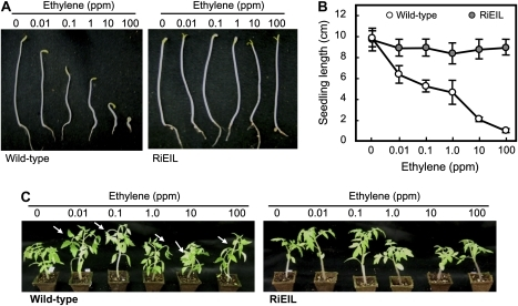 Response of wild-type and RiEIL (T3 generation) tomatoes to exogenous ethylene. (A and B) Triple response assay in wild-type and RiEIL-18 seedlings (6 d after germination in the dark). Vertical bars are the SD (n=10). (C) Epinasty assay of plants. One-month-old plants were incubated in ethylene for 6 h. Arrows indicate bending points. No symptoms of triple response or epinasty were observed in RiEIL-18 plants even in 100 ppm ethylene.