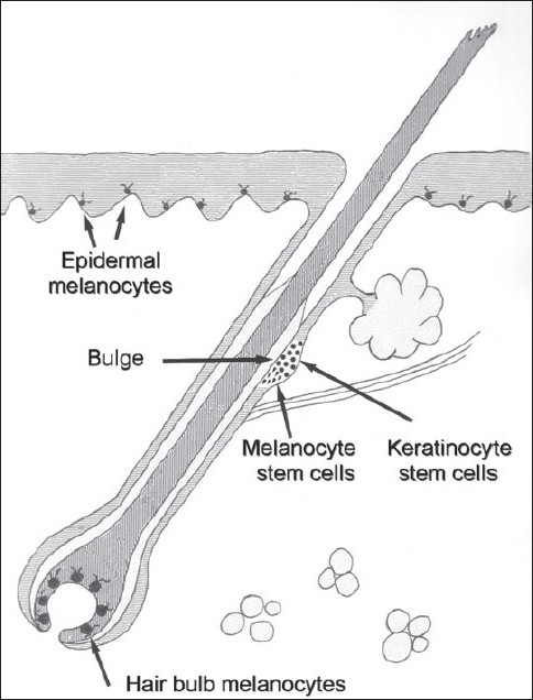 The melanocyte reservoir. Illustration depicts the location of keratinocyte and melanocyte stem cells. Other, mature terminal melanocytes are also shown