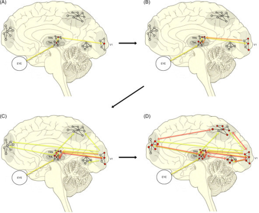 Schematic drawing of the TRN-modulated thalamocortical looping model of conscious awareness. THL: thalamus, V1: the primary visual cortex. As the color of processing-flow lines gets darker (from yellow to orange, and finally to red), more elaborated information processing is being produced by means of iterating thalamocortical loops through the TRN. Cortical networks tie together neuronal assemblies in widespread cortical regions, and the TRN may play a central role in organizing all of the networks.