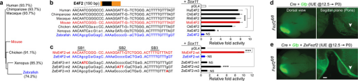 Functional analysis of species differences in E4 sequencea, Hierarchical clustering of E4F2 sequences from seven vertebrates. Percentage nucleotide identity relative to mouse E4F2 is indicated in parentheses. b, Analysis of species differences in Sox11 activation of E4F2. Sox11 trans-activated the E4F2 sequence of five vertebrates (≥ 7.3 fold) and Xenopus (2.8 fold). In contrast, the activity of zebrafish E4F2, which is divergent in SB1 and SB2, was not activated by Sox11. c, Murinization (red uppercase nucleotides) of zebrafish SB2 (ZeE4F2-m2) partially rescued the loss of transactivation of zE4F2 by Sox11. d-e, Cell-autonomous rescue of mouse Fezf2 loss-of-function by zebrafish Fezf2 (ZeFezf2). In utero electroporation (IUE) of Fezf2fl/fl neocortical wall at E12.5 with Cre and CRE-responsive Gfp plasmids. Fezf2-deficient L5 neurons do not form CS tract at P0 (d). Co-electroporation of a ZeFezf2 plasmid cell-autonomously rescued the formation of CS tract by Fezf2-deficient neurons (e). Errors bars represent s.e.m. One-tailed Student's t-test; *P<0.05, **P<0.01, ***P<0.001. n = 4 per condition. Scale bar represents 200 µm.