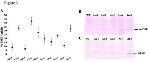 Assay of transgenic plants for PME activity.(A) Percent enrichment of PME activity in different transgenic plants over wild type (WT). (B) & (C) In-gel PME activity analysis of different transgenic lines expressing AnPME (An 1-5) & AtPME (At 1-5). Arrow head shows desired PME bands in transgenic plants.