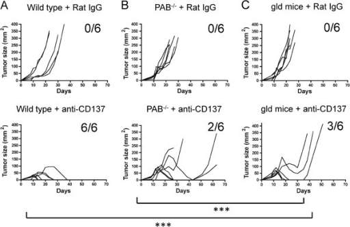 Both perforin-granzyme and FasL pathways contribute to rejection of EG7 tumors upon treatment with anti-CD137 mAbs. Wild type (A), perforin and granzyme A and B knockout (PAB-/-) (B) and FasL-mutant gld (C) mice were injected s.c. with 5 × 105 EG7 tumor cells and treated i.p. with 100 μg of control Rat IgG or anti-CD137 mAb on days 8, 10, 12 and 14 after tumor cell challenge. Mean tumor diameters were sequentially measured 2-3 times per week. 6 mice per group were included. Statistical comparisons were performed using a nonlinear regression statistical method (Y= (MaxVol * exp(X-TimeO))/( 1 + exp((X-TimeO)/RateGrowth)) with GraphPad software. ***, P<0.001 were considered statistically significant.