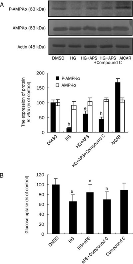Effect of APS on the high glucose (HG)-treated C2C12 cell model. Analysis of the expression of protein of P-AMPKα by Western immunoblotting and glucose uptake by 2-deoxy-[3H]-D-glucose method. (A) Effect of APS on the expression of P-AMPKα of high glucose-treated C2C12 cell model (n=3). (B) Effect of APS on the glucose uptake of high glucose-treated C2C12 cell model (n=4). All data are expressed by mean±SEM. bP<0.05 vs DMSO group; eP<0.05 vs HG group, hP<0.05 vs HG+APS group.