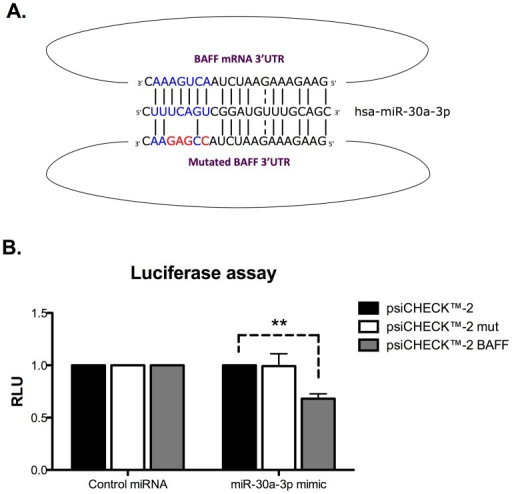 miR-30a-3p directly targets the 3′UTR of BAFF mRNA.A. Luciferase reporter constructs with wild-type or mutated (for miR-30-3p binding sites) BAFF 3′UTR were generated. B. HEK293 cells were transiently co-transfected with reporter constructs and with miR-30a-3p mimic (20 pM). Firefly Luciferase activities were measured 48 h after transfection and normalized to Renilla Luciferase expressed by the control psi-CHECK-2 vector devoid of 3′UTR sequences. Data are expressed as the mean of triplicate samples ± SEM and are representative of three independent experiments. **p<0.01.