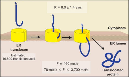 Schematic diagram of ER translocation summarizing our protein flux estimations. An estimate of 16,500 translocons per cell was obtained by comparing the abundance of each essential subunit comprising the yeast ER translocon (Sec61p, Sec62p, Sec63p, Sss1p, and Kar2p). This value matches the abundance of Sec62p, the limiting subunit inferred from proteomic information (Ghaemmaghami et al., 2003). Using translocation rates determined in a eukaryotic system (Goder et al., 2000), we next estimated the ER to experience an average flux of 460 molecules/s, with an absolute minimum and maximum flux of 78 molecules/s and 3700 molecules/s, respectively [see Equations (1–5) for details].