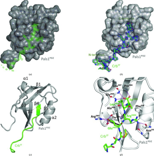 Overall structure and molecular interactions between Pals1PDZ and Crb17. (a) Difference electron density (green) for the Crb17 peptide bound to Pals1PDZ prior to fitting. The map is a σA-weighted Fo − Fc electron-density OMIT map (contoured at σ = 3.0). (b) Electron density for the Crb17 peptide bound to Pals1PDZ after refinement. The map is shown as a σA-weighted 2Fo − Fc electron-density OMIT map (contoured at σ = 1.0). (c) Schematic representation of Crb17 (green) bound to Pals1PDZ (grey cartoon). Secondary-structure elements are labelled starting from the N-terminus of Pals1PDZ. α, α-Helix; β, β-­strand. (d) Close-up of the Crb17 peptide (green sticks) bound to Pals1PDZ (grey cartoon). Pals1 residues involved in the recognition of Crumbs are shown as sticks. Pink dashed lines represent hydrogen bonds that are established between the Crb17 peptide and Pals1PDZ.