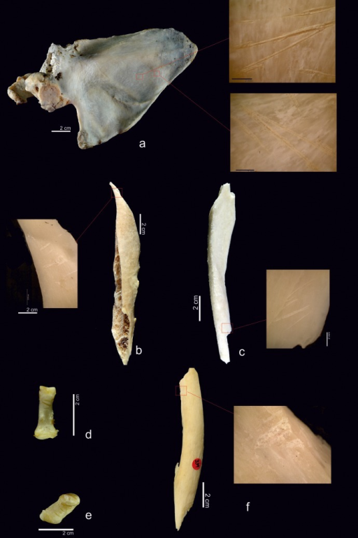 Examples of cut marks on the chimpanzee sample.a) Slicing marks on a scapula. b) Slicing marks on the shaft of a chimpanzee femur. c) Another example of slicing marks on an ulna. d) Phalange with cut marks. e) Cut marks on a pisiform. f) Chop marks on a shaft of femur performed during the fracture of the bone.