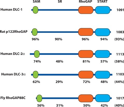 Comparison of the mammalian and Drosophila DLC family proteins. Schematic representation of the structure of human DLC-1, DLC-2α and DLC-3α, the rat DLC-1 orthologue p122RhoGAP and Drosophila RhoGAP88 C (cv-c). The SAM, serine-rich (SR), RhoGAP and START domains are indicated. The amino acid length of the polypeptide is given at the right. Beneath each domain is the percent identity to the corresponding domain of human DLC-1, and in parenthesis is the percent identity of the full-length polypeptide.