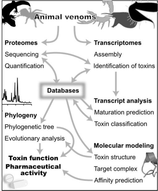 Computational approaches in venomics. The different themes in this figure are discussed in the text. Generalist and specialized databases are a central source of information for both the discovery (top) and analysis (bottom) of venoms. Venomics computational tools combine data from proteomics and transcriptomics to discover the set of toxins in a venom gland. These tools use predictions of mature toxins from transcriptomes to support peptide sequencing, and sequencing by mass spectrometry uses transcript sequences as a database to rapidly identify peptides and their post-translational modifications. Bioinformatics tools use the standardized classification stored in databases to analyze transcripts, and phylogenetic analyses can be used to analyze toxin evolutionary relationships. Databases in turn record the newly identified toxin peptide and transcript sequences. These sequence data can be also used to refine toxin classification, for example when a new phylogenetic group of toxins is identified. The molecular target of toxins can be suggested by a phylogeny and an evolutionary analysis complemented by the prediction of toxin 3D structures. Molecular modeling of target/toxin complexes can be used to analyze in great depth structure-activity relationships of toxins. Finally, the affinity of these complexes can be predicted from the molecular models.