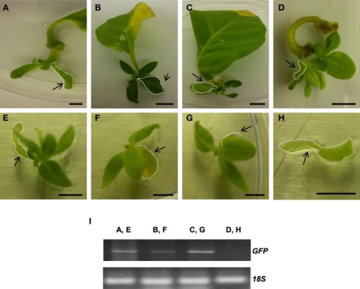 Plant regeneration occurs in leaves from regenerated tobacco plants harboring AtTCTP2. (A–D) Representative images of regeneration from four leaf explants 21 days after transformation with the AtTCTP2-overexpressing construct harbored by A. rhizogenes. Selected leaf explants (dashed) were cut and transferred to fresh solid MS basal medium (without hormone supplementation) and incubated under controlled conditions (16:8 photoperiod). (E–G) New tissue arose 21 days after incubation in three samples, while in one of four samples tested (H) no self-regeneration capacity was observed. Original explants are highlighted in arrowheads. (I) GFP amplification by final point PCR using total DNA extracted from each original explant (arrowheads) as template to test transgene presence. [Lane 1 corresponds to (A,E), lane 2 to (B,F), lane 3 to (C,G), and lane 4 to (D,H)]. Self-regeneration correlated with presence of the AtTCTP2-GFP transgene (lanes 1–3); in a plant where no regeneration occurred AtTCTP2 was not detected (lane 4). 18S rRNA was used as control for RNA integrity. Size bars = 1 cm.