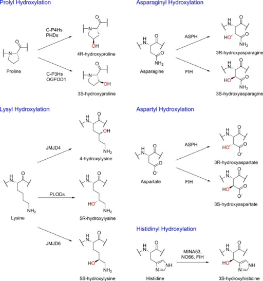 Hydroxylations catalyzed by human 2OG oxygenases. Human 2OG oxygenases catalyze the stereoselective hydroxylation of prolyl, lysyl, asparaginyl, aspartyl, and histidinyl residues in protein substrates; the oxygen atom incorporated into the product is shown in red. Note that the stereochemistry of JMJD4-catalyzed hydroxylation is unknown. C-P4Hs, collagen prolyl 4-hydroxylases; C-P3Hs, collagen prolyl 3-hydroxylases; PLODs, pro-collagen lysine 2-oxoglutarate 5-dioxygenase enzymes.
