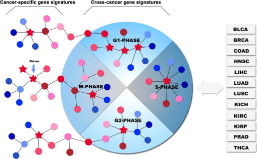 Two possible carcinogenic mechanisms.(1) gene expression aberrations in cell cycle-associated pathways can directly lead to carcinogenesis, these pathways are cross-cancer gene signatures altered across a range of cancer types; (2) gene expression aberrations in organ-specific pathways can indirectly lead to carcinogenesis by interacting with cell cycle-associated pathways, these pathways are cancer-specific gene signatures altered in a single cancer type. Stars represent driver mutations that can alter the expression levels of their target genes.