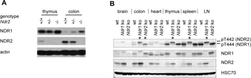 The remaining NDR isoform is upregulated in tissues of mice lacking one of the two Ndr genes.(A) Western blot analysis of NDR1 and NDR2 expression in thymus and colon of wild-type (+/+), Ndr2 heterozygous (+/-) and Ndr2-deficient (-/-) mice. (B) Western Blot analysis of NDR1 and NDR2 proteins in brain, colon, heart, thymus, spleen and lymph nodes (LN) of wild-type (wt), Ndr1-deficient (ko 1) and Ndr2 deficient (ko 2) mice. Hydrophobic motif phosphorylation, which serves as a direct indicator of NDR kinase activity, was examined using anti-phospho-T444/T442 antibodies (detecting NDR1 and NDR2 equally well [65]). The upper band corresponds to T442-P of NDR2, the lower band corresponds to T444-P of NDR1 [65]. HSC-70 served as loading control. Asterisks indicate compensatory HM phosphorylation events.