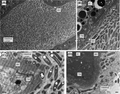 Legionella pneumophila invades the Caenorhabditis elegans intestinal cells. Representative transmission electron microscopy images were obtained from samples of nematodes fed L. pneumophila Lp02 for 6 days. (A) Longitudinal section of colonized intestine. Note the typical rod-shaped morphology of the bacteria within the intestinal lumen defined by the microvilli (MV) intestinal epithelium lined by the MV. Scale bar is 2 μm. (B) Embedding of the bacteria within the MV on the apical surface of the intestinal cell (IC) supported by the terminal web (TW). Note the poly-β-hydoxybutyrate inclusion bodies (white spots) within some of the bacterial forms. Scale bar is 500 nm. (C) Disruption of the electron dense intermediate filaments of the TW from the MV on the apical surface of the IC. Note the presence of the bacterial form with poly-β-hydoxybutyrate inclusion (inc) bodies embedded in the MV. Scale bar is 500 nm. (D) Internalization of a bacterial form (white arrow) within the IC. Note that the shape and size of the internalized bacterial form is similar to bacterial forms (white arrow) present within the intestinal lumen. Also note that the MV with the supporting TW appears to have re-formed. Scale bar is 500 nm.