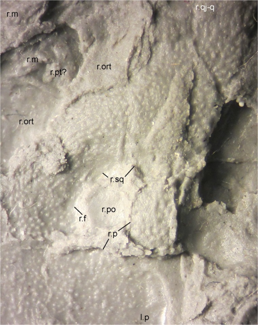Right postorbital opening (supratemporal fenestra) and surroundings of MB.Am.45.Photograph of MB.Am.45.3 taken by holding a camera to an ocular of a binocular microscope, showing the diversity of sculpture around the postorbital opening. Anterior is to the left. Note how little space remains (covered by a prominent break) for an unsculptured trough on the right parietal that would have connected the posteromedial corner of the postorbital opening to the posterior margin of the skull and would have allowed jaw-closing muscles passing through the fenestra to attach to neural spines. Abbreviations: l., left; r., right; f, frontal; m, maxilla; ort, orbitotemporal fenestra; p, parietal; po, postorbital opening (supratemporal fenestra); pt?, probable pterygoid; qj-q, quadratojugal-quadrate bone; sq, squamosal.