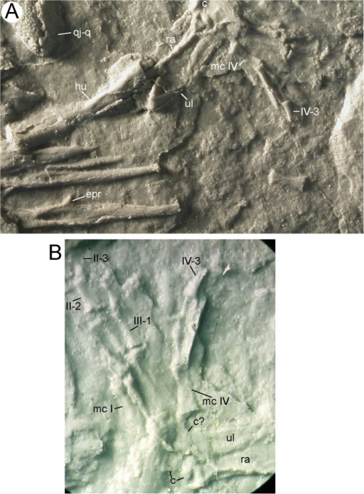 Right forelimb of MB.Am.45.Photographs of MB.Am.45.3. (A) whole forelimb, ribs and quadratojugal-quadrate bone of the right side; anterior is up. (B) close-up on the right hand taken by holding a camera to an ocular of a binocular microscope. Anterior is down and slightly to the left. At least two carpals are visible, as is the serrated crest on the clawlike terminal phalanx of digit IV. Abbreviations: c, carpal; epr, epipleural process; hu, humerus; mc, metacarpal; qj-q, quadratojugal-quadrate bone; ra, radius; ul, ulna. Roman numerals indicate digital rays, Arabic numerals indicate phalanges, so that e.g. IV-3 is the third (and terminal) phalanx of digit IV.