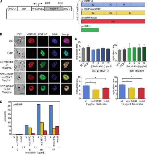 Episomal Expression of Cleavage-Resistant MSP1 Inhibits P. falciparum Growth(A) Blasticidin-regulated co-selection episome. A bi-directional P. falciparum promoter (the intron of PlasmoDB: PFC0005w) drives expression of the blasticidin-S-deaminase gene (bsd) and msp1-f transgene. The hrp2 gene 3′ UTR controls transgene transcript termination and polyadenylation. Three variants were used, expressing wild-type msp-1f (pHBIMFwt, blue), or with mutations at all four known and putative 38/42 sites, (pHIBMFmut38/42, yellow; same mutations as Fmut38/42triple, Figure S1A) or mutations at all primary processing sites (pHBIMFmutall, red; same as mutant Fmutall, Figure S1A). All msp1-f sequences included the GPI anchor sequence. Increasing blasticidin concentration selects for parasites harboring multi-copy concatamers to maintain drug resistance, leading to increased msp1-f expression. A construct containing the Renilla luciferase gene (pHBIRH, green) was used as control.(B) Immunofluorescence analysis (IFA) of parental 3D7 and FCB1 schizonts, as well as 3D7 schizonts harboring the constructs in the indicated concentrations of blasticidin. Parasites were probed with MSP1 isoform-specific antibodies. Merged signals include that of the DNA dye 4,6-diamidino-2-phenylindole (DAPI, blue). Scale bar, 5 μm.(C) Quantification by FACS of parasite replication over a single erythrocytic cycle. Top: no significant differences between parental parasites and the transgenic 3D7pHBIMFwt and 3D7pHBIRH lines. Bottom: replication of the 3D7pHBIMFwt line compared to the 3D7pHIBMFmut38/42 and 3D7pHBIMFmutall lines expressing mutant MSP1-F, at similar blasticidin concentrations. Columns show mean values of >3 biological replicates. Error bars, SEM. Statistically different growth rates are indicated (∗p < 0.05; ∗∗p < 0.01. Kruskal-Wallis test).(D) Transgene RNA transcript levels measured by qRT-PCR, as a percentile of endogenous msp1-d transcript levels (100%). SEM values in all cases were <0.1%. See also Figure S2.