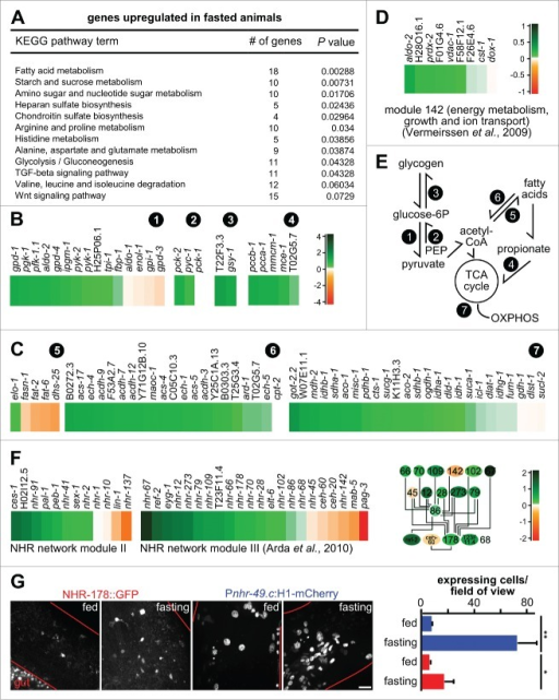 Fasting induces modular changes in the metabolic gene regulatory network. (A) KEGG pathway enrichment analysis of gld-1 RNAi animals that were fasted. Only upregulated pathways in fasted compared to fed gld-1 RNAi animals with P values lower than 0.01 are shown. (B) Changes in transcript levels in selected carbohydrate and branched-chain amino acid catabolism pathways. log2-fold changes between fasting and feeding are shown. (circled numbers: 1 = glycolysis; 2 = gluconeogenesis; 3 = glycogen metabolism; 4 = propionate metabolism). (C) Changes in transcript levels in fatty acid and mitochondrial metabolic pathways. log2-fold changes between fasting and feeding are shown. log2-scale as in panel (B). (circled numbers: 5 = fatty acid synthesis; 6 = ß-oxidation; 7 = tricarboxylic acid (TCA) cycle, mitochondrial catabolism) (D) Changes in transcript levels in module 142 from ref. 42. log2-fold changes between fasting and feeding are shown. (E) Core metabolic processes in C. elegans and the pathways identified to be regulated after fasting (circled numbers, see above). PEP = phosphoenol-pyruvate, OXPHOS = oxidative phosphorylation. (F) Left: Changes in transcript levels in modules II and III from ref. 45. log2-fold changes between fasting and feeding are shown. Right: Connection between the metabolic regulators in module III. Colors represent log2-fold changes. (G) NHR-178 and NHR-49 expression in germline tumors and regulation by fasting. Left: Representative z-projections of central germline tumor regions of the indicated transgenic animals. Scale bar: 10 μm. Right: Quantification of tumor cells expressing NHR-49 (blue) or NHR-178 (red) at d 3 of adulthood with or without starvation for 1 d; n = 3 animals each; *P ≤ 0.05; **P ≤ 0.01.