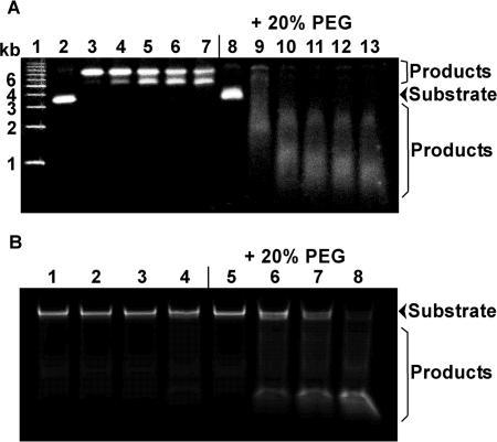(A) Hydrolysis of plasmid [pcDNA 3.1(+)] DNA by DNase I (0.01 U) in the absence or presence of 20% (w/v) PEG 20000 at 25°C. Lane 1 shows the DNA size marker. Lanes 2, 3, 4, 5, 6 and 7 show 0, 1, 2, 3, 4 and 5 min, respectively, of hydrolysis by DNase I in the absence of PEG 20000. Lanes 8, 9, 10, 11, 12 and 13 show 0, 1, 2, 3, 4 and 5 min, respectively, of hydrolysis by DNase I in the presence of 20% (w/v) PEG 20000. (B) Hydrolysis of a short oligonucleotide DNA (29-mer dsDNA) by DNase I (0.1 U) in the absence or presence of 20% (w/v) PEG 20000 at 25°C. Lanes 1, 2, 3 and 4 show 0, 1, 4 and 10 min, respectively, of hydrolysis by DNase I in the absence of PEG 20000. Lanes 5, 6, 7 and 8 show 0, 1, 4 and 10 min, respectively, of hydrolysis by DNase I in the presence of 20% (w/v) PEG 20000.