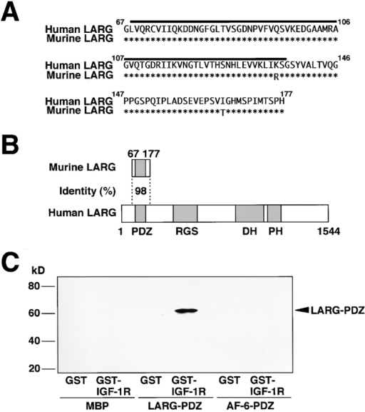 Identification of the IGF-1 receptor-interacting protein. (A) Amino acid sequences of the IGF-1 receptor-interacting peptide and human LARG. The numbers denote amino acid positions. Asterisks denote identical amino acids. The black bars show amino acid positions of PDZ domain. (B) Schematic representation of the IGF-1 receptor-interacting peptide and human LARG. The numbers indicate the amino acid sequence identity in the PDZ domains or amino acid numbers. (C) Interaction of MBP-LARG-PDZ domain with GST–IGF-1 receptor β-subunit in vitro. MBP, MBP-LARG-PDZ domain, or the AF-6–PDZ domain was mixed with GST- or GST–IGF-1 receptor-coated beads. The interacting proteins were coeluted with GST fusion proteins. The eluates were subjected to SDS-PAGE and subjected to immunoblot analysis with anti-MBP or anti–AF-6 antibody. The results shown are representative of three independent experiments.