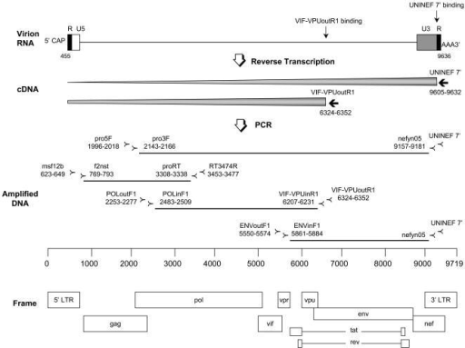 Nearly full-length RT-PCR method.Viral RNA was reverse-transcribed by priming with UNINEF 7′ or with VIF-VPUoutR1 using SuperScriptTM III RNase H− RT. The locations of all the primers used for cDNA synthesis and nested PCR were depicted in this diagram with the map of the complete HIV-1 genome. Two different strategies were employed to amplify the nearly full-length genome: one amplified the 2.6-kb (gag-pol) and 7.0-kb (pol-nef) fragments with the overlap of 797-bp, and the other amplified three overlapping fragments of 2.6-kb (gag-pol), 3.7-kb (pol-vpu) and 3.3-kb (env-nef) with the 797-bp and 321-bp over lap regions, respectively.
