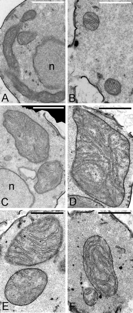 Inner membrane cristae are present in globular gem1Δ mitochondria. Mitochondria in wild-type cells (JSY7000) are tubular in longitudinal sections (A) and spherical in cross section (B) and contain inner membrane cristae. Profiles of globular mitochondria in gem1Δ strains (JSY7002, C–F), are larger than wild type but contain well-developed cristae. n, nucleus. Bars, 1 μm.