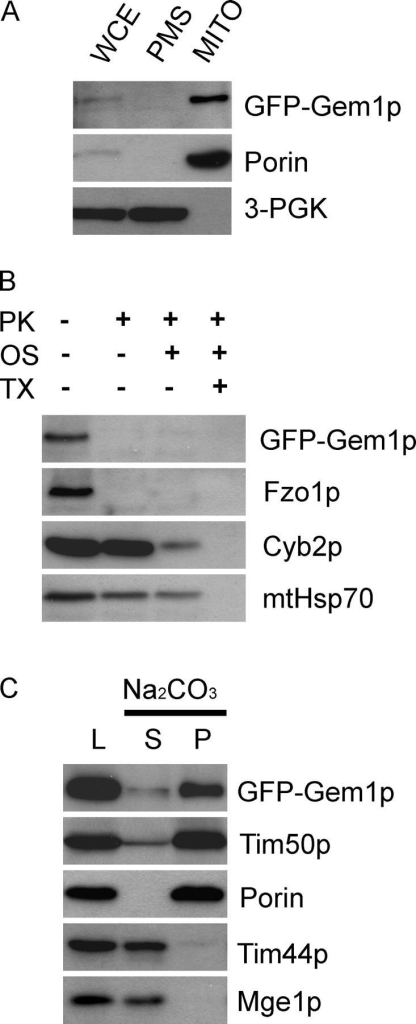 Gem1p is a single-pass outer mitochondrial membrane protein with its NH2 terminus exposed to the cytoplasm. (A) WCE from JSY7000 (GEM1) expressing GFP-Gem1p was fractionated by differential centrifugation to yield PMS and MITO pellet, and analyzed by SDS-PAGE and Western blotting with antibodies against GFP, the multi-pass outer mitochondrial membrane protein Porin, and the cytoplasmic protein 3-PGK. WCE and PMS, 1× cell equivalents; MITO, 10× cell equivalents. (B) Untreated, osmotically shocked (OS), or Triton X-100 solubilized (TX) mitochondria were treated with (+) or without (−) PK and analyzed by SDS-PAGE and Western blotting with antibodies specific for GFP, the integral outer membrane protein Fzo1p, the intermembrane space protein Cyb2p, and the matrix protein mtHsp70. (C) Mitochondria (200 μg) were treated with sodium carbonate (pH 11.5) and separated into supernatant (S) and pellet (P) fractions. One-sixth of the reaction was loaded in each lane (L, load, untreated mitochondria). Tim50p is a single-pass inner membrane protein. Tim44p is a peripheral membrane protein in the matrix. Mge1p is a soluble matrix protein.