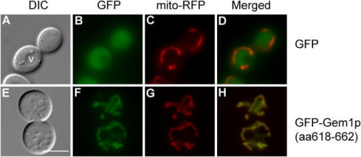 The COOH-terminal 45 aa of Gem1p are sufficient for mitochondrial targeting. Images of GEM1 cells (JSY7000) expressing GFP alone (A–D) or GFP-Gem1p (aa618-662) (E–H) are shown. Mitochondria were visualized simultaneously with mito-RFP. v, vacuole. Bar, 5 μm.
