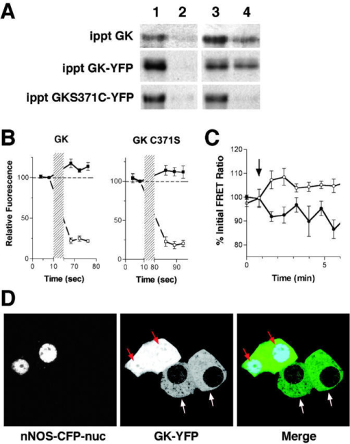 Association of GK with nNOS can direct GK localization. (A) Endogenous GK, GK-YFP, and C371S GK-YFP were immunoprecipitated from cell lysates using anti-GK antibodies or anti-GFP antibodies for YFP-tagged proteins in combination with agarose-conjugated secondary antibodies. Precipitates were then heated to 37°C for 10 min in the presence of 1 mM DEANO in PBS (lanes 3 and 4) or an equivalent volume of vehicle (DMSO) in PBS alone (lanes 1 and 2). Pellets (lanes 1 and 3) and supernatants (lanes 2 and 4) were analyzed by SDS-PAGE and Western blot using anti-nNOS antibodies. (B) Cells expressing nNOS-CFP and GK-YFP or GK(C371S)-YFP were examined by two-photon microscopy before and after photobleaching with a 514 nm Ar laser (indicated by the hatched region). Average relative fluorescence (n = 6) for cellular CFP (▪) and YFP (□) intensities were plotted versus time. A dotted line was drawn as a reference to indicate prebleach intensity. (C) FRET between nNOS-CFP and either GK-YFP (•) or GK(C371S)-YFP(○) was examined in living cells by two-photon microscopy. FRET ratios were normalized to pretreatment values (100%) before averaging (n = 6) and plotted versus time. Addition of insulin (100 nM) is indicated by the arrow. (D) Cells were cotransfected with GK-YFP and nNOS-CFP-nuc and examined by confocal microscopy. In cells expressing both constructs, GK-YFP is found colocalized with nNOS in the nucleus (red arrows). GK-YFP did not localize to the nuclei of cells that were singly transfected with GK-YFP (white arrows). In the merged panel, the CFP image was colored blue and the YFP image was colored green. Colocalization is indicated by cyan (red arrows).