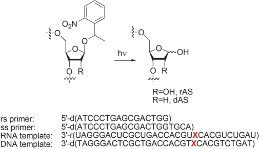 Primers and templates (X = dAS, rAS, T or U) used for ss primer and rs primer reverse transcription assays.