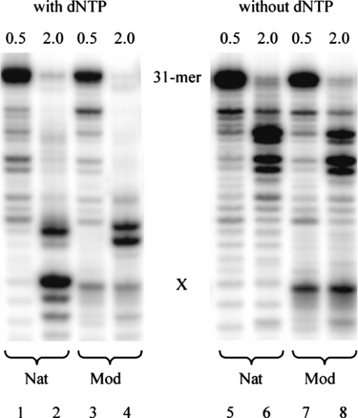 Comparison of the RNaseH activity of HIV-1 RT with (lanes 1–4) and without (lanes 5–8) dNTPs at different enzyme concentrations: 0.5 U (lanes 1, 3, 5, 7) and 2.0 U (lanes 2, 4, 6, 8). Nat = unmodified RNA template (X = U), Mod = abasic RNA template (X = rAS).