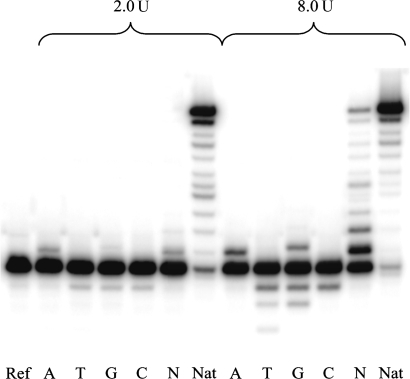 Standing start AMV RT assay with abasic RNA template (X = rAS). Enzyme concentrations 2.0 and 8.0 U, reaction time 1 h. Ref: without enzyme and dNTPs. A, T, G, C: reactions in presence of the respective dNTP; N: reactions in presence of all four dNTPs; Nat: unmodified RNA template (X = U) and all four dNTPs.